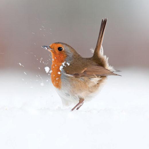 Dancing Robin